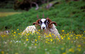 blackface tup in wildflower meadow