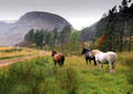 highland ponies in glenfeshie