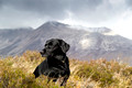 serene black labrador with mountain backdrop