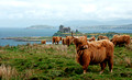 highland cattle by duart castle isle of mull