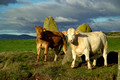 young steers at standing stones