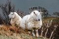 two cheviot ewes in winter setting isle of skye